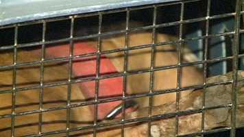 Some of the dogs chewed through the crates brought to transport them from Utica to Jackson.