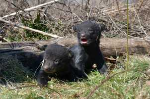 Mississippi Department of Wildlife, Fisheries and Parks biologists and Mississippi State University biologists found two newborn cubs in Bolivar County on Wednesday.