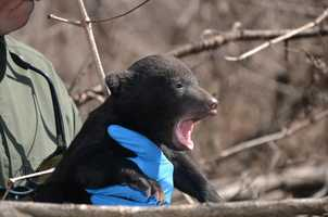 The wildlife biologists made the discovery while monitoring radio-collared black bears in Mississippi as part of an ongoing research project.