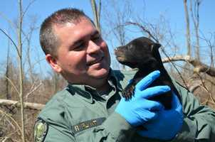 The bear cubs were weighed and measured and micro-chipped.