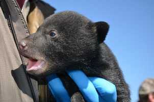 Biologists went back to check on the bears later and found them in the same spot and doing fine.