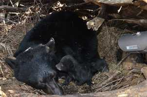 The newborn bear cubs were found in the den with their mother. The mother bear was tranquilized before biologists went inside.