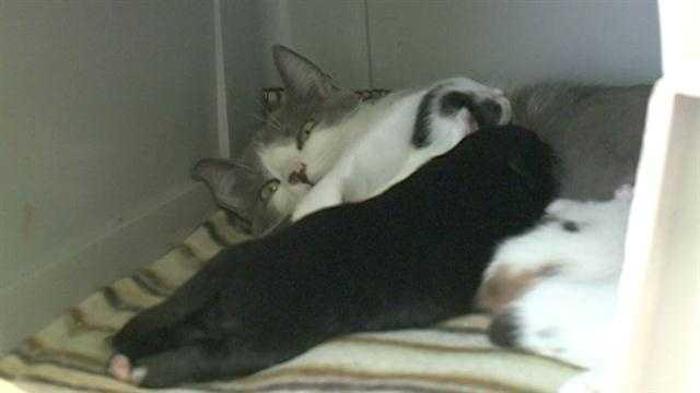 cat nurses puppy 2