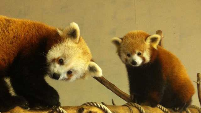 Pai and Ruby, the Jackson Zoo's red pandas.