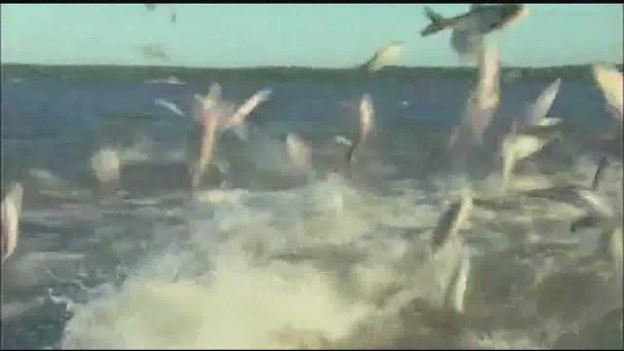 Asian carp that fly through the air are invading Mississippi waterways.