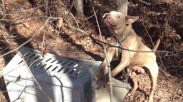 4th pit bull found tied up
