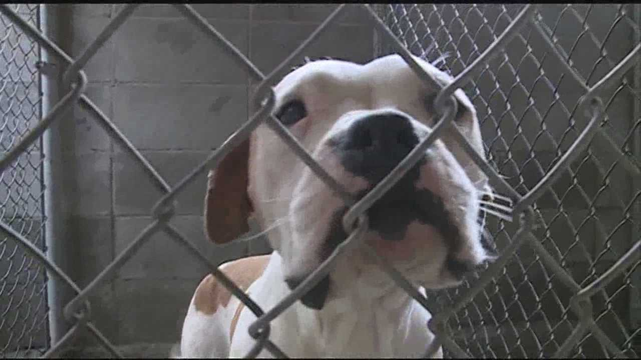 New tonight, an animal activist standing up for pit bulls after calls for a ban on the dogs.  Three attacks in one month have some people weary.