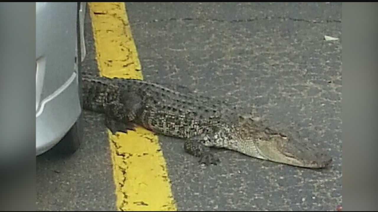 Alligators caught in parking lot