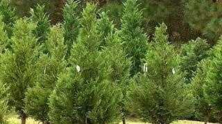 Christmas Tree Sales - 21655212