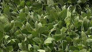Farm Field Soybeans - 20063925