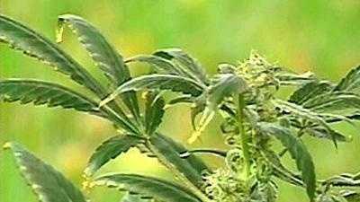 Marijuana pot generic - 10958777