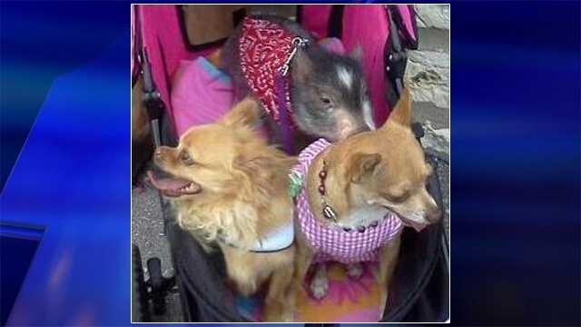 Cinco de Mayo Chihuahua parade