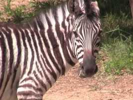 The Maryland Zoo in Baltimore welcomes two new zebra foals.