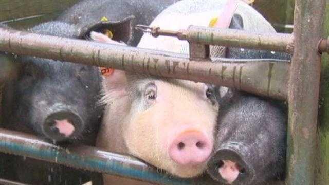 Pigs (Generic)
