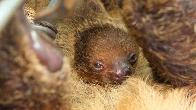 newborn sloth