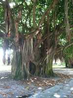 An awesome tree our very own Pete Gilbert encountered while in Florida. What's that hiding in there?