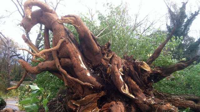 Druid-Hill-Park-old-tree-(2.jpg