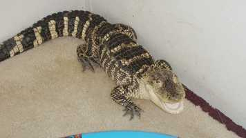 Police said the alligator was living inside the home of Michael Golden, located in the 7500 block of Glen Eagle Drive.