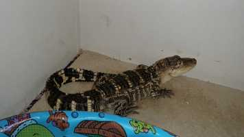 A drug-trafficking investigation in Jessup led officers to discover a 3-foot-long alligator, police said.