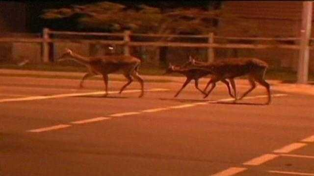 There is a reason why deer are more energetic this time of year.