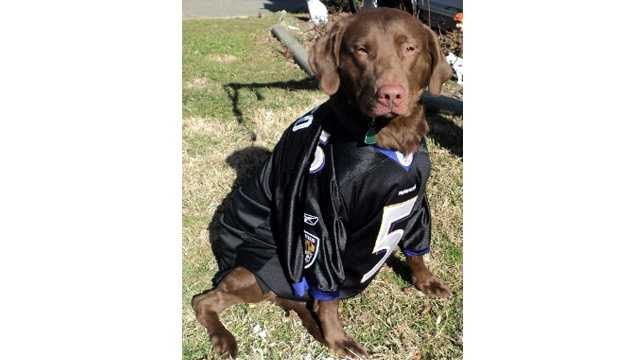 dog in Ray Lewis jersey