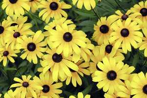 The Black-Eyed Susan is the state flower