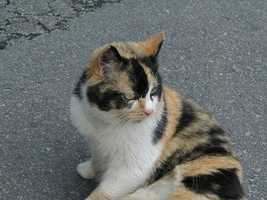 The Calico cat, with colors resembling Maryland State Flag, is the state cat.