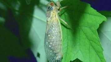 While cicadas are harmless to humans and trees (they do not bite, they do not sting.), the mating call can be a real nuisance -- as loud as a lawnmower or a jet engine, experts said. But it only lasts a month.