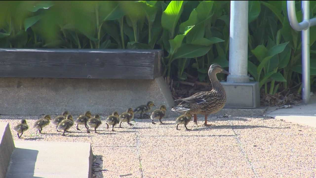 Mama duck, 12 ducklings take up residency at hospital