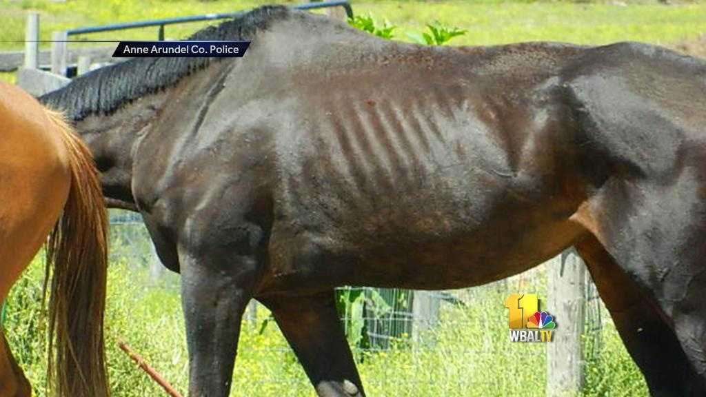 Malnourished horse