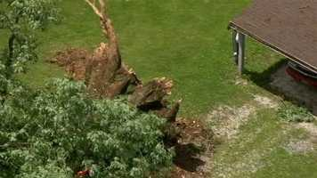 A massive oak tree uprooted itself in near a home in Westminster on Thursday morning.