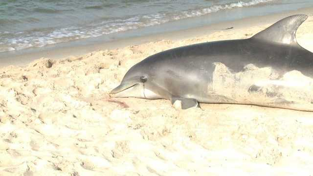 East Coast dolphin deaths