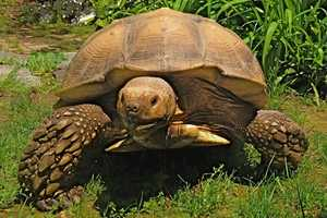 African Spur Thigh tortoises can't survive in cold weather, so Roosevelt said she's hoping to find him now. She said she's willing to offer a reward.