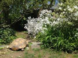 A Baltimore woman is looking for help to find her missing 20-year-old tortoise who she thinks may have wandered off and gotten stuck somewhere.