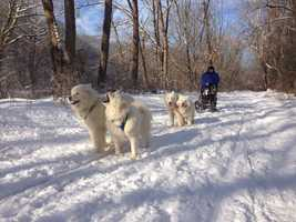 Mary Wolf with her Samoyeds on the NCR trail in Sparks