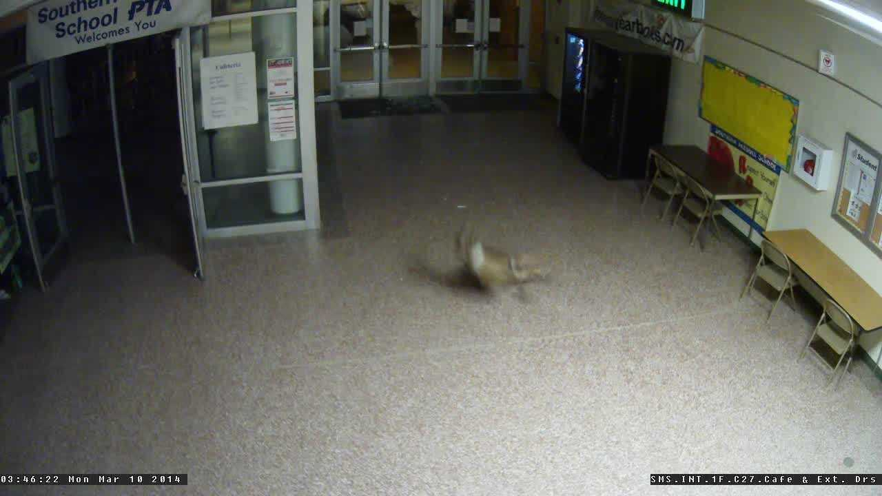 Raw video: Deer crash into school to escape dogs