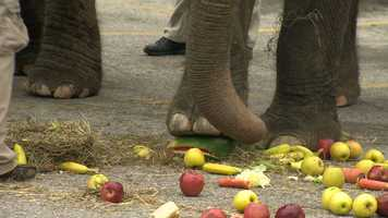 But the elephants have skills: They crush the melons with their massive feet!