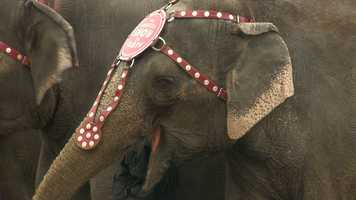 The pachyderm stars of the Ringling Brothers Barnum & Bailey Circus took part in their annual parade along Park Avenue, Fayette Street and Eutaw Street.