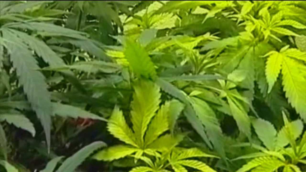 img-Loop holes in marijuana legislation identified