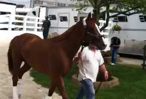 May 12:California Chrome, accompanied by Preakness candidates Ride On Curlin and General a Rod, arrives at Pimlico Race Course.