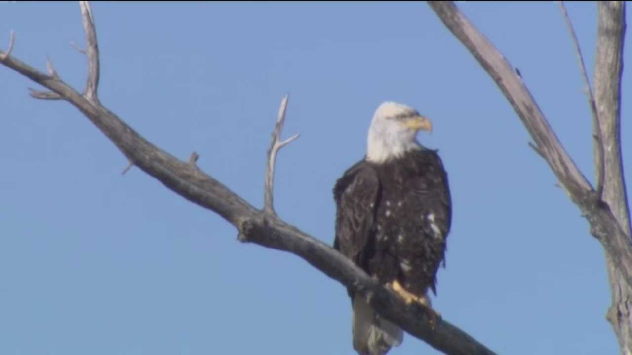 Help name the zoo's bald eagle