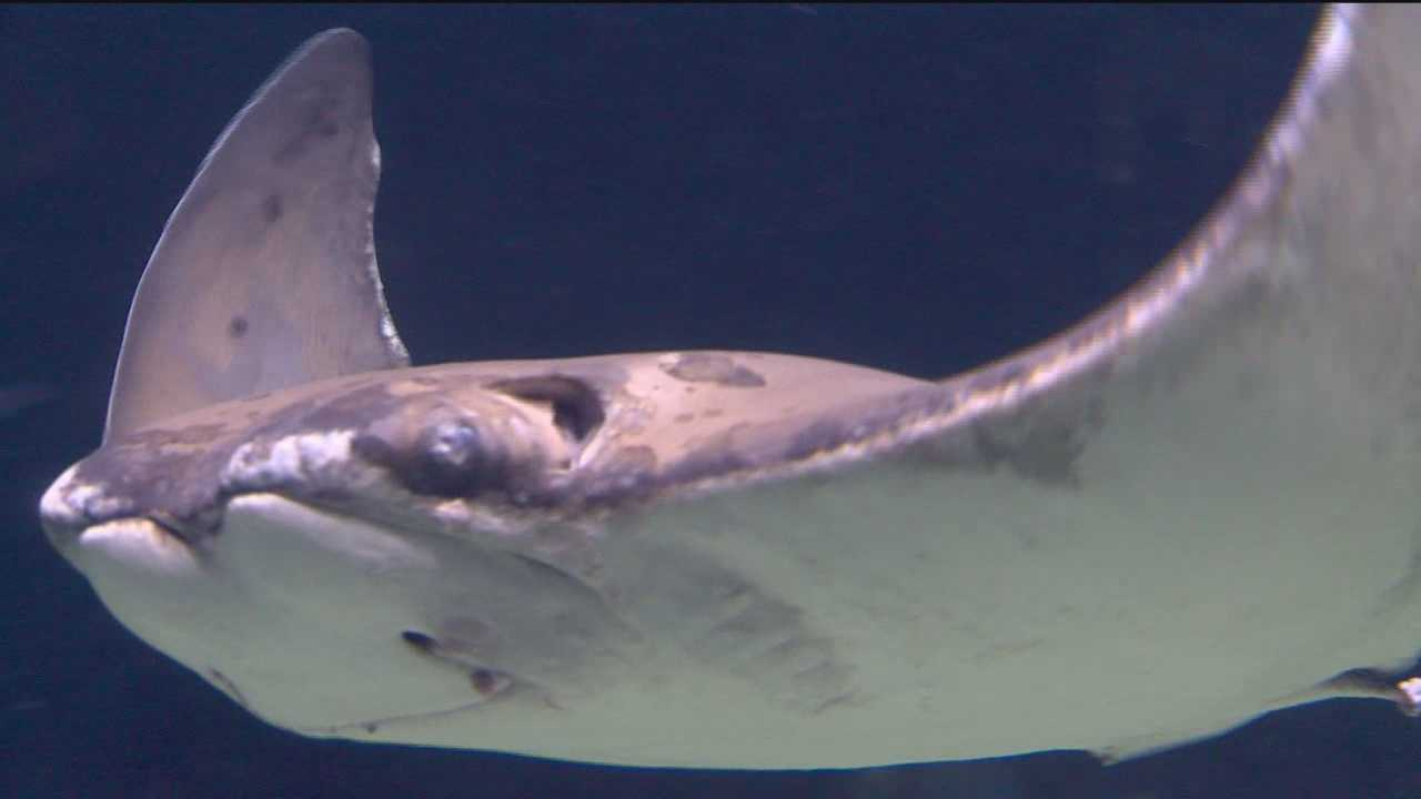 Experts meet to discuss future of cownose rays