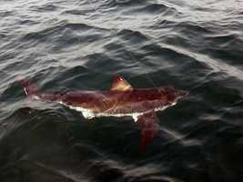 The shark, which was estimated to weigh 150 pounds, was tagged and released.