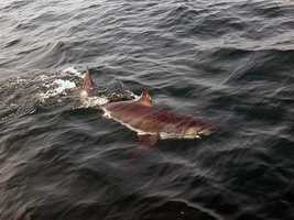 On June 26, 2010, anglers off the waters of Stellwagen Bank caught, tagged and released a six to seven foot, immature white shark.