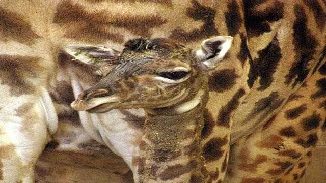 Giraffe - Roger Williams Park Zoo - 24210569