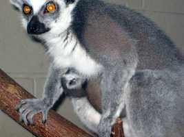 Nebuchadrezzer (Nebbie), a ring-tailed lemur, gave birth to twins on March 21