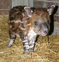 The baby's arrival was long-awaited by the animal care staff as the gestation period for Baird's tapirs is 13 months. Baird's tapir calves are distinctly marked with watermelon like white stripes, which help to camouflage them in the rainforest. The stripes begin to fade between five and six months of age. Tupelo weighed 21 pounds at birth. Conversely, her mother Abby weighs just over 700 pounds.