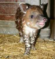 """The baby, a female named Tupelo, was born Dec. 5 to Milton, a 20-year-old male, and Abby, a 5-year-old female. This is the second offspring for Milton and Abby. Zookeepers named the calf after Tupelo honey because it is sweet and highly-prized. Like the honey, the baby is described as having a """"sweet"""" disposition."""