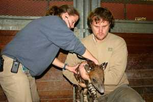Dr. Susie Bartlett, Zoo New England Associate Veterinarian, examines the Baird's tapir calf during its first examination on Dec. 6 while Dave Caron, Lead Zookeeper, holds the calf.