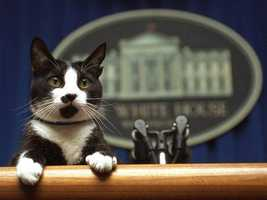 The Clintons' Socks the cat preps for a press conference.